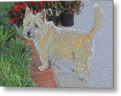 Cairn Terrier On The Patio Metal Print