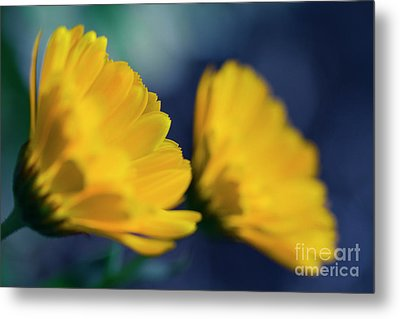 Metal Print featuring the photograph Calendula Flowers by Sharon Mau