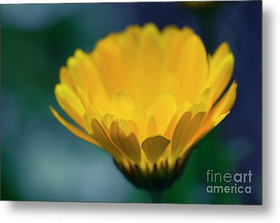Metal Print featuring the photograph Calendula by Sharon Mau