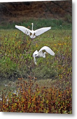 Cali Coast Pt Arena Great Egrets Metal Print