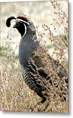 California Quail Metal Print
