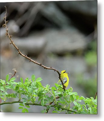 Calling Blue Winged Warbler 2017b Square Metal Print