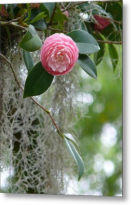 Camellia And Moss Metal Print by Jeanne  Woods