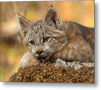 Canada Lynx Kitten 3 Metal Print