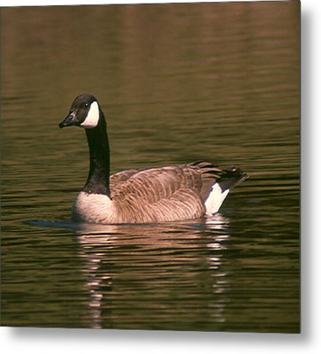 Metal Print featuring the photograph Canadian Goose by Bonnie Muir