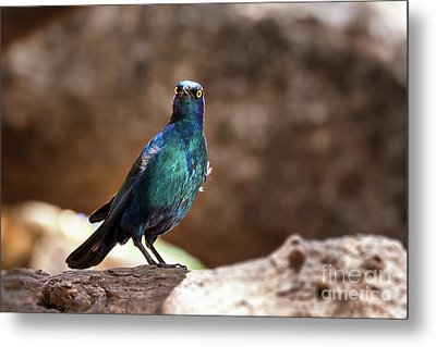 Cape Glossy Starling Metal Print by Jane Rix
