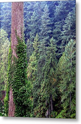 Capilano Canyon Ivy Metal Print by Will Borden
