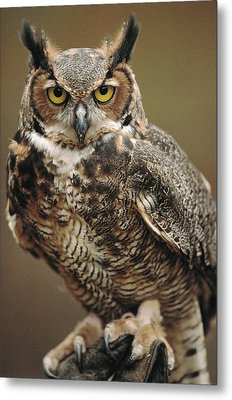 Captive Great Horned Owl, Bubo Metal Print