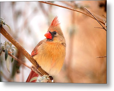 Cardinal Bird Female Metal Print by Peggy Franz