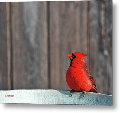Cardinal Drinking Metal Print by Edward Peterson