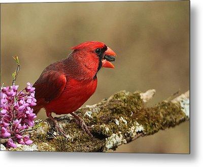 Cardinal In Spring Metal Print by Sheila Brown
