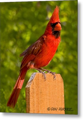 Metal Print featuring the photograph Cardinal On Fence by Don Durfee