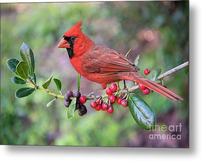 Cardinal On Holly Branch Metal Print by Bonnie Barry