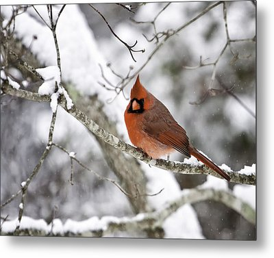 Cardinal On Snowy Branch Metal Print by Rob Travis