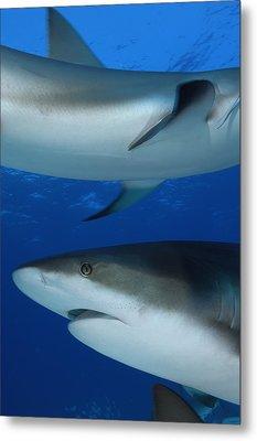 Caribbean Reef Sharks Swim Metal Print by Brian J. Skerry