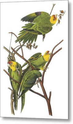 Carolina Parakeet Metal Print by John James Audubon