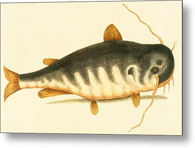 Catfish Metal Print by Mark Catesby