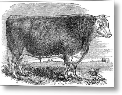 Cattle, C1880 Metal Print by Granger