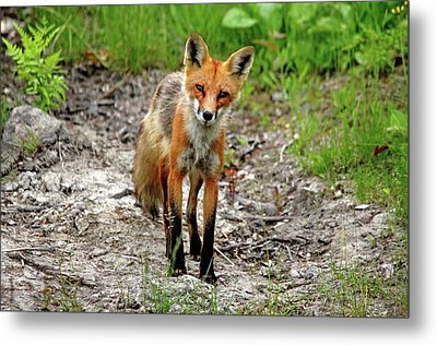 Metal Print featuring the photograph Cautious But Curious Red Fox Portrait by Debbie Oppermann