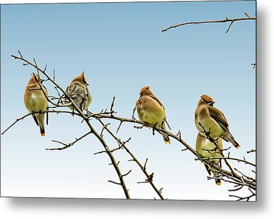 Cedar Waxwings Metal Print by Geraldine Scull