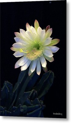 Metal Print featuring the photograph Cereus Peruvianus by Dodie Ulery