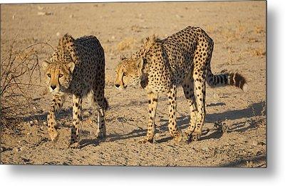 Cheetahs Metal Print
