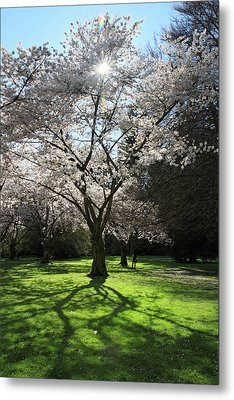 Cherry Blossom Sunshine Metal Print by Pierre Leclerc Photography