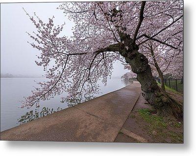 Cherry Blossom Tree In Fog Metal Print