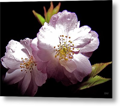 Cherry Blossoms Metal Print by Debra     Vatalaro