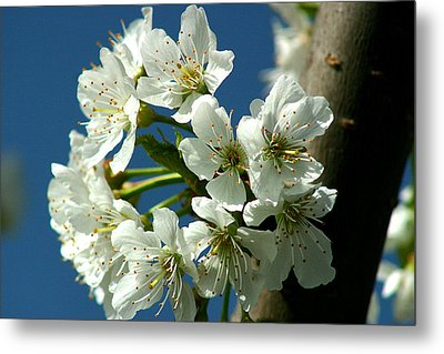 Cherry Tree Blossom Metal Print by Emanuel Tanjala