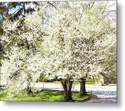 Cherry Trees In Blossom Metal Print