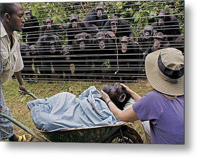 Chimpanzees Look On In Grief Metal Print by Monica Szczupider/National Geographic My Shot