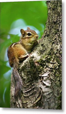 Chipmunk On A Limb Metal Print by Christina Rollo