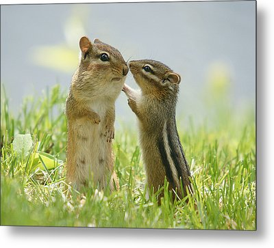 Chipmunks In Grasses Metal Print by Corinne Lamontagne