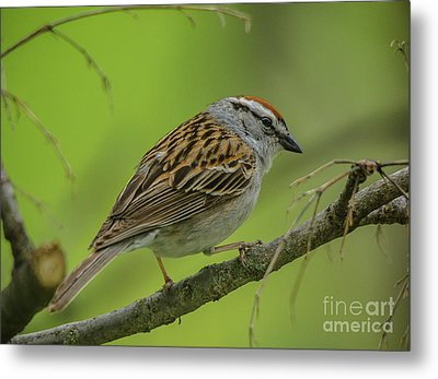Chipping Sparrow Cutie Metal Print