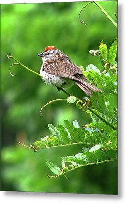 Chipping Sparrow Metal Print by Deborah Johnson