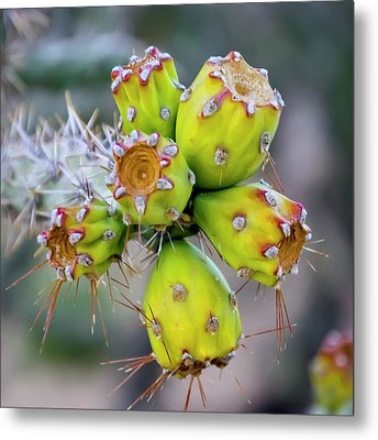 Metal Print featuring the photograph Cholla Fruit S48 by Mark Myhaver