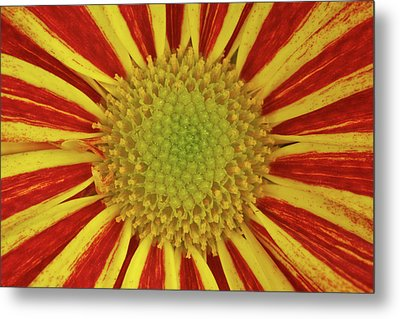 Metal Print featuring the photograph Chrysanthemum Close-up by Christine Amstutz