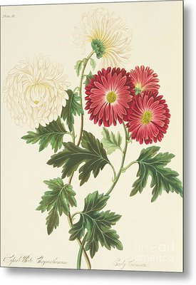 Chrysanthemums Metal Print by Margaret Roscoe
