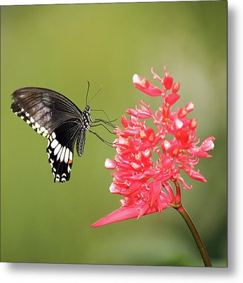 Metal Print featuring the photograph Citrus Swallowtail by Grant Glendinning