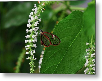 Clearwing Butterfly Metal Print