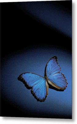 Close-up Of A Blue Butterfly Metal Print by Stockbyte