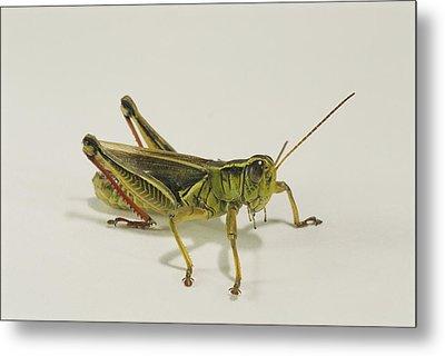 Close View Of A Grasshopper Metal Print by Darlyne A. Murawski