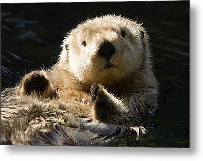 Closeup Of A Captive Sea Otter Making Metal Print by Tim Laman