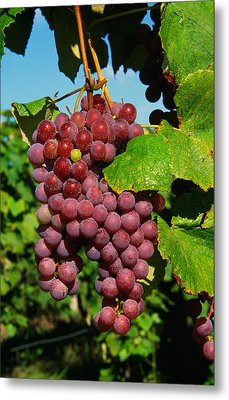 Cluster Of Grapes Ripe For Harvesting Metal Print by Panoramic Images