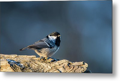 Metal Print featuring the photograph Coal Tit's Colors by Torbjorn Swenelius