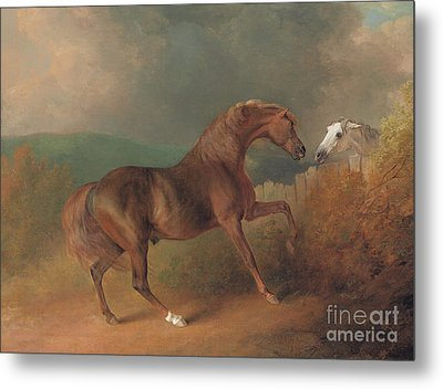 Colonel Thornton's Jupiter With A Grey Mare  Metal Print by Sawrey Gilpin