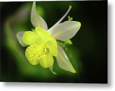 Metal Print featuring the photograph Colorado Columbine by Marie Leslie