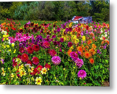 Colorful Dahlias In Garden Metal Print by Garry Gay