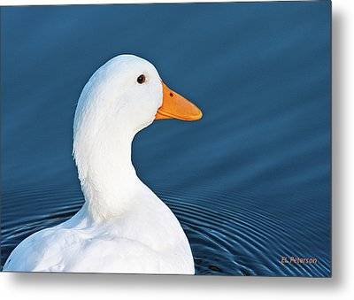Come Swim With Me Metal Print by Edward Peterson